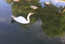 白鳥 写真