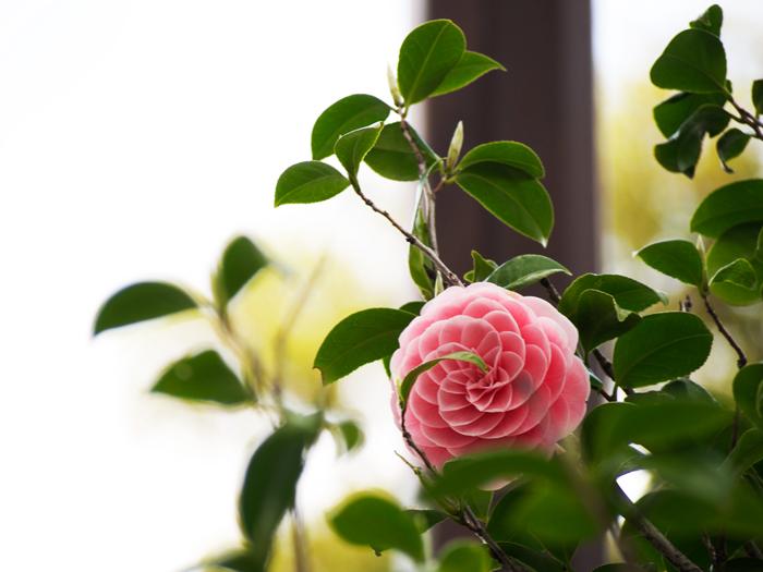乙女椿の花