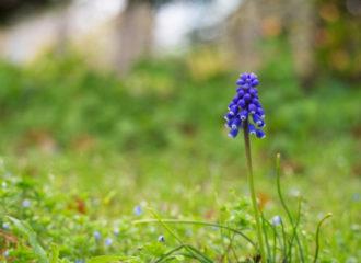 ムスカリの花の写真
