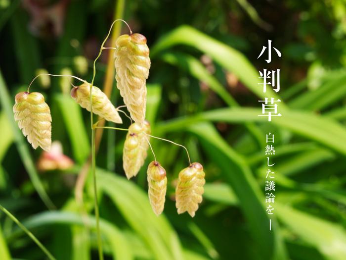 小判草の写真