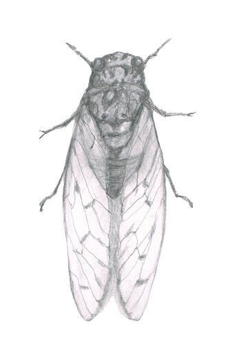 蝉のイラストレーション